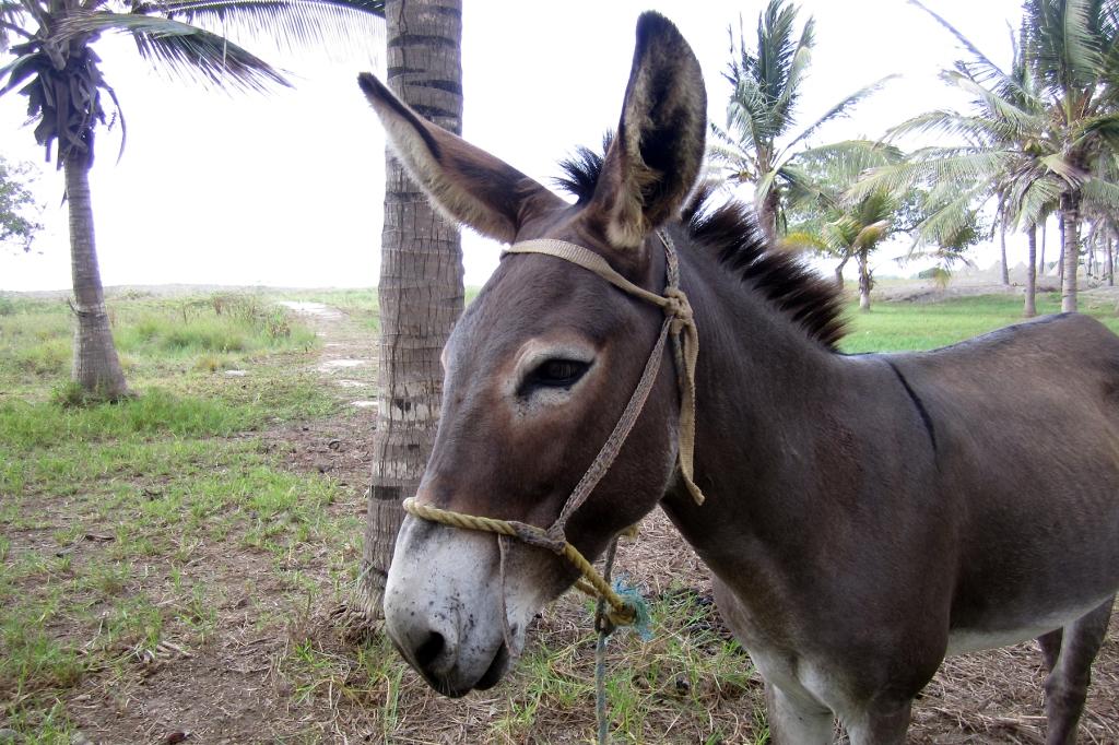 burro-turipana