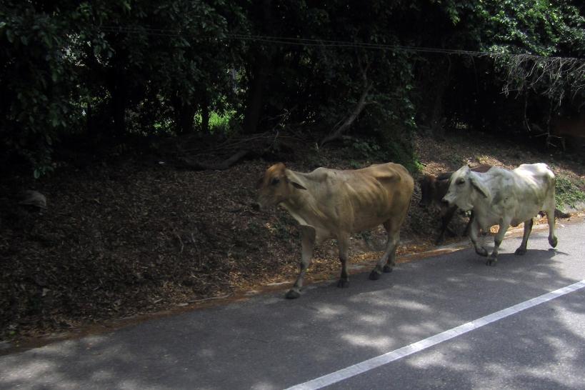 palo-vaca